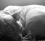 sleeping-sphynx-in-black-and-white-glennis-siverson